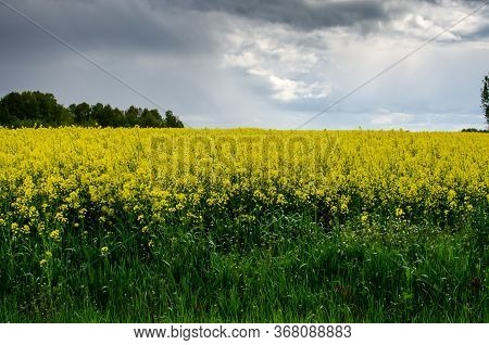 Blooming Yellow Rapeseed Field In Russia. Farmers Grow Rapeseed