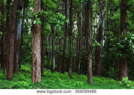 Teak Trees In An Agricultural Forest In Kerala India