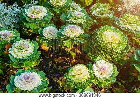 Decorative Cabbage, Ornamental Kale, In Latin Brassica Oleracea Var. Acephala. Autumn Background Wit