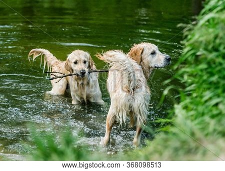 Pair of golden retriever dogs standing in river with greenery