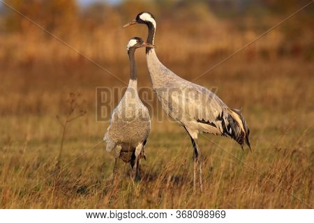 The Common Crane (grus Grus), Also Known As The Eurasian Crane, A Pair Of Mature Cranes In The Yello