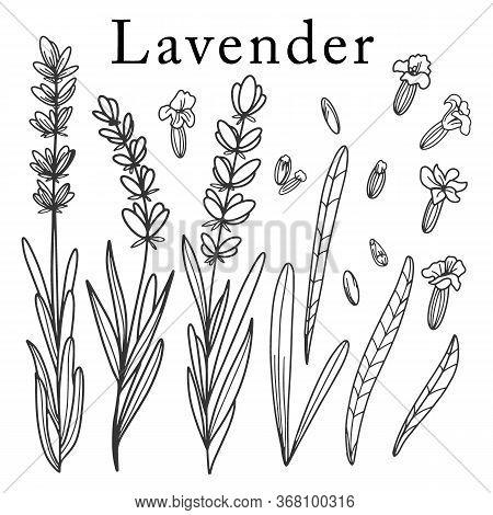 Lavender Flower. Isolated Outlined Vector Set On White.