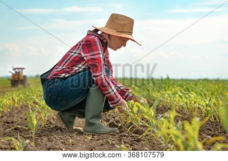 Female Farmer Examining Young Green Corn Crops In Field, Woman Agronomist Looking Over Maize Plantat