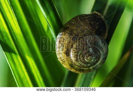Garden Snail On One Of The Blade Of Grass. Terrestrial Pulmonate Gastropod Mollusc In The Family Hel