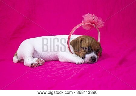 Fashionista Puppy Jack Russell Terrier Girl With A Hoop On Her Head Sleeping On A Pink Coverlet Next