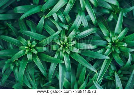 Asiatic Lily Plant. Lilium Young Garden Leaves. Greenery Background. Cool Horizontal Wallpaper Blank