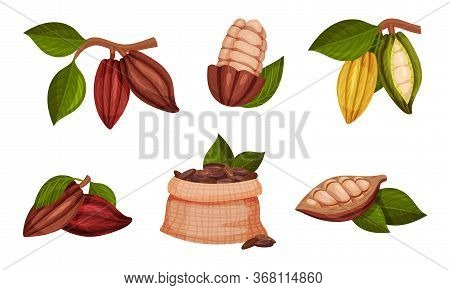 Cocoa Beans In Pods Hanging On Tree Branch Vector Set