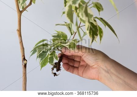 Woman Hands Holding Offshoot With Root Separated From The Main Tree After Being In Bag With Moss To