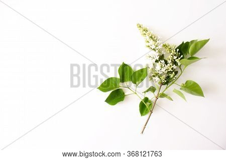 Branch With Green Leaves Of White Lilac Flat Lay Isolated On White Background Top View With Copy Spa