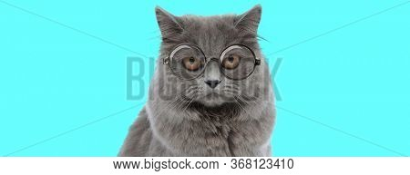 young funny British Longhair cat looking at camera with big eyes, wearing eyeglasses and sitting on blue background
