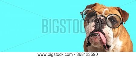 young adorable English Bulldog dog licking his mouth, sitting and wearing eyeglasses on blue background