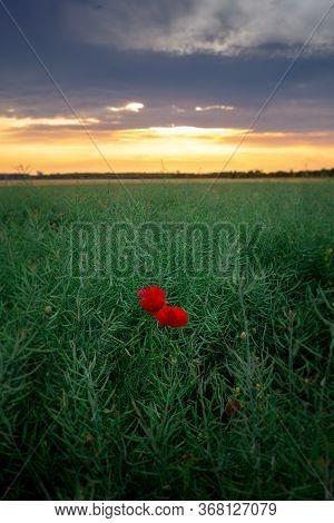 Poppy Flowers In Countryside Landscape. Fields And Countryside Landscape. Nature Landscape. Red Popp
