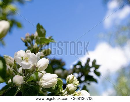 Flowering Apple/pear Tree.fresh Spring Background On Nature Outdoors.soft Focus Image Of Blossoming