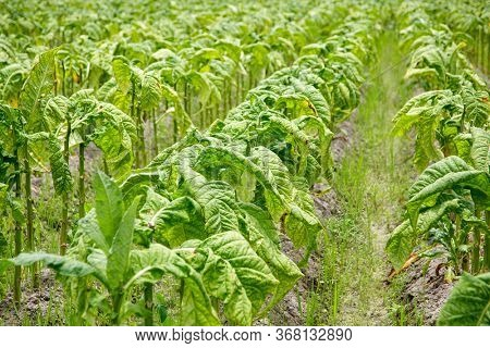 Tobacco leaf crops growing in tobacco plantation field before harvest in Fujian,China
