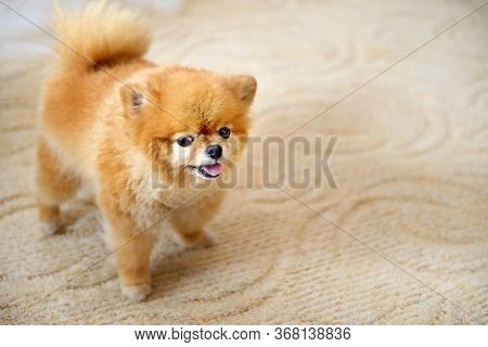 Pomeranian Spitz Close-up With Highlighted Focus. Little Pomeranian On A Light Background With Copy