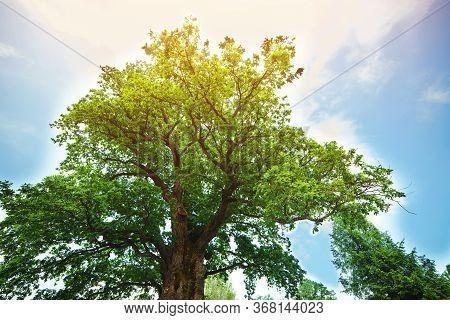 Majestic Green Oak Tree On A Meadow. Millennial Oak Over Clear Blue Sky In The Background.