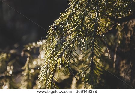 Green Branch Of Fir-tree With Tiny Needles In The Back Light On The Dark Matte Background. Brown Con