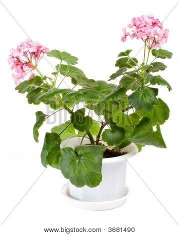 Geranium In Pot