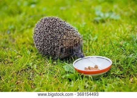 Wild Hedgehog Eating From A Dog Bowl.hedgehog Eating Dry Cat Food, Summer Garden.small Grey Prickly