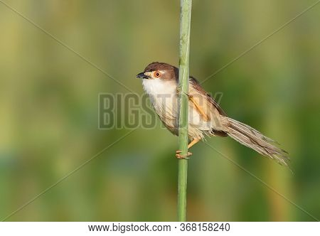 The Yellow-eyed Babbler Is A Passerine Bird Native To South And Southeast Asia. It Inhabits Shrublan