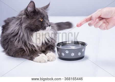 A Pedigree Cat With Beautiful Yellow Eyes, Lies On A White Floor, At A Bowl Full Of Pure Water, A Ma
