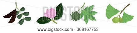 Vector Drawing Branches Of Trees With Leaves, Carob, Magnolia, Sweetgum And Gingko, Hand Drawn Illus