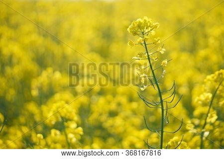 Flowering Of The Rapeseed Field Is Yellow. Natural Landscape Background With Copy Space. Blooming Ca