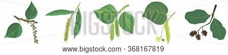 Vector Drawing Branches Of Trees With Leaves, Poplar, Willow, Birch, Linden And Alder Tree, Hand Dra