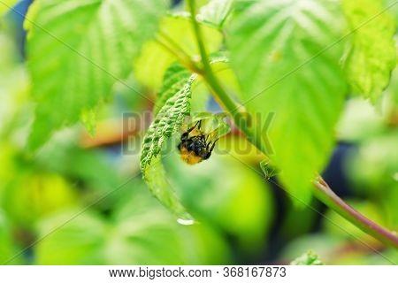 Bee On Flower Of Raspberry. Stock Photo.macro Photo Of Bee Pollinating Flower Of Raspberry.selective