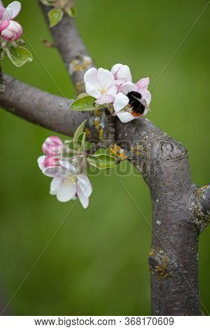 Blooming Apple Tree Branches In The Park. Shaggy Bumblebee Pollinates The Flowers Of An Apple Tree.