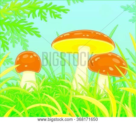 Three Edible Mushrooms With Big Brown Caps Hiding In Green Thick Grass On A Pretty Forest Glade On A