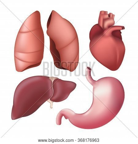 Set Of Realistic Human Internal Organs - Lungs, Liver, Heart, Stomach. Vector Illustration Of Differ