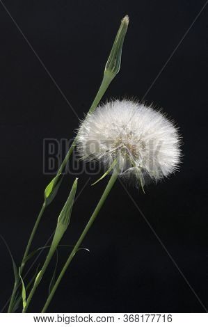 Also Called Goat's-beard. Meadow Salsify Is A Perennial Plant Similar In Appearance To Dandelion, Ca