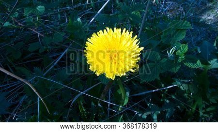 Bright Yellow Dandelion On A Dark Background. Photo Of A Flower In The Park