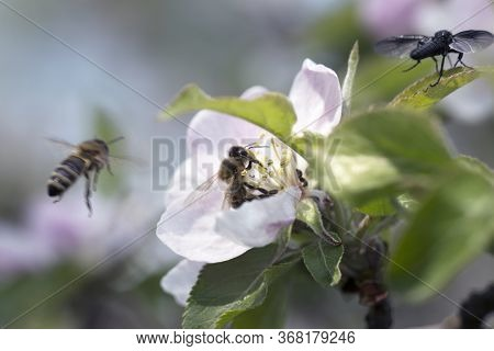 Bee On Apple Blossom.honeybee Collecting Pollen At A Pink Flower Blossom