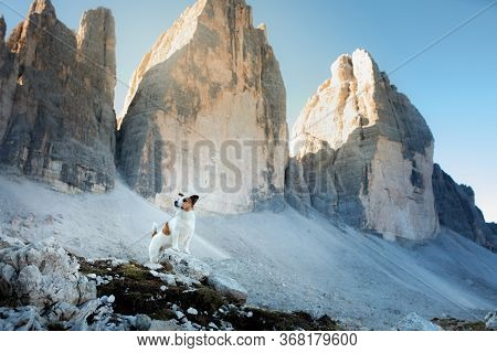 Dog In The Mountains. Tracking, Hiking With A Pet. Brave Jack Russell Terrier On Top. Tre Cime Di La