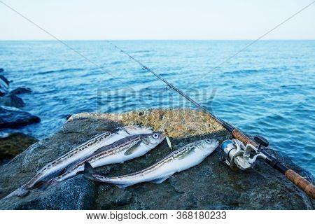 Caught pollock fish and spinning rod on background of sea