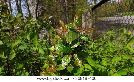 Cotoneaster Lucidus.cotoneasters Are Very Popular Garden Shrubs. Without Flowers And Fruits. A Hedge
