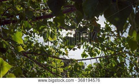 Green Leaves Of Poplar Tree In Sunlight, Summer Green Foliage, Chlorophyll Production, Poplar Twigs