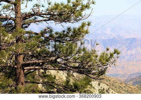 Pine Tree On A Windswept Mountain Ridge Overlooking The Badlands Of The Mojave Desert Taken In The R
