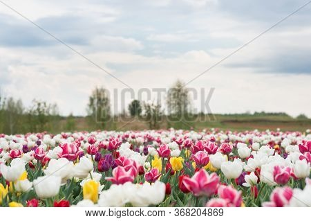 Spring Floral Background. Perfume Fragrance And Aroma. Flowers Shop. Growing Flowers. Netherlands Co
