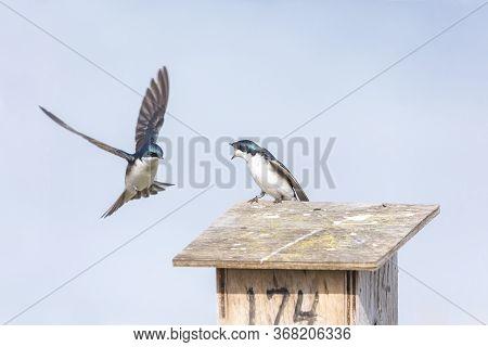 Tree Swallow Bird At Richmond Bc Canada