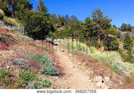 Hiking Trail Thru Chaparral Shrubs And Sage Plants Surrounded By A Temperate Pine Trees Taken On The