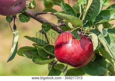 Apple On A Tree Branch With Leaves In Farm Or Orchard.