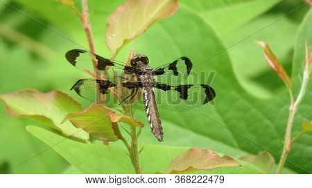 An Adult Female Common Whitetail Or Long-tailed Skimmer Dragonfly Has A Brown Body And Wing Spots.