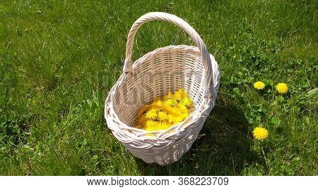 Yellow dandelions for health syrup