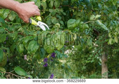 Male Farmer Looking After The Garden. Planned Pruning Of Fruit Tree. Man With Pruner Shears The Tips