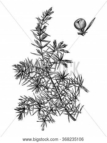 Hand Drawn Branch And Berry Of Juniper. Drawing Sketch Of Forest Plant. Ink Line Botanic Elements. C