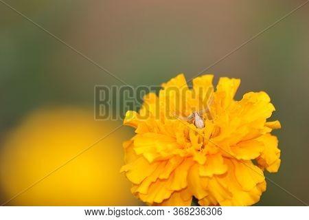 Macro Shot Of White Garden Spider And Yellow Marigold Background Image, Wild Spider Sitting On Flowe
