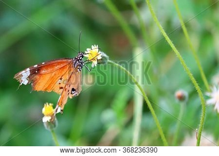 Close Up Of Monarch Butterfly Feeding Nectar On Summer Flower In The Garden,monarch Butterfly Collec